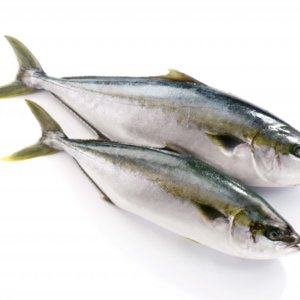 yellowtail-3